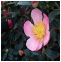 Pink Yuletide Camellia