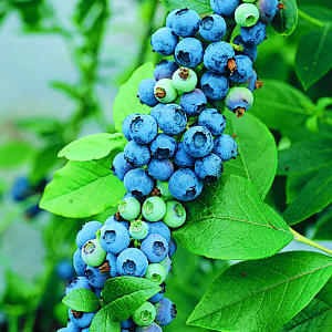Mmmmm... fresh, healthy, delicious Blueberries!