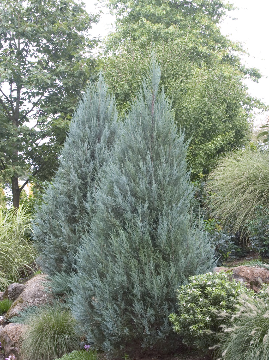 4649 moreover Creative Fences as well Florida Trees Shrubs And Ground Cover Love Zone 10 likewise Redbud Cultivars 4 25 14 furthermore Juncus Effusus Var Pacificus Quartz Creek Images Large 151091. on drought tolerant privacy plants