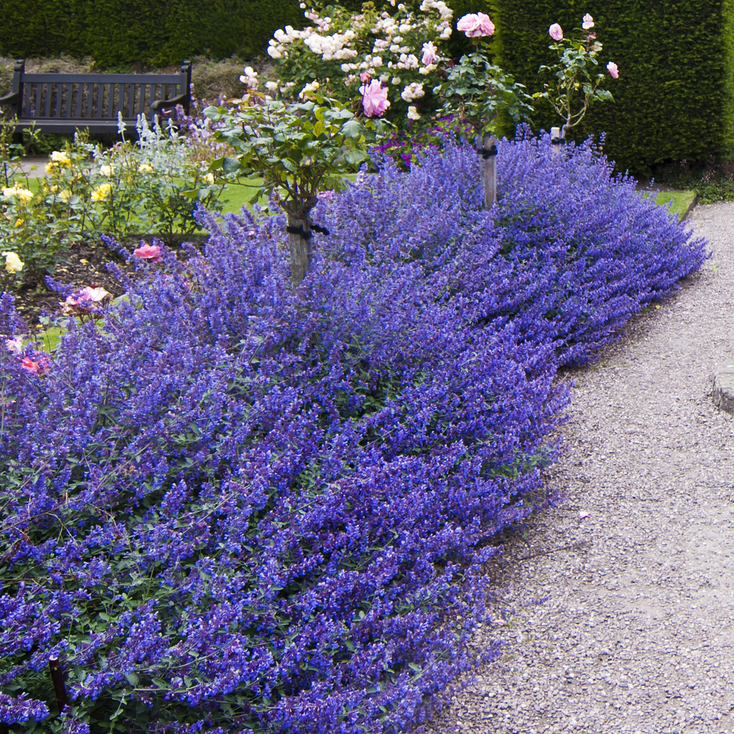 Landscaping With Lavender Plants : Moved permanently