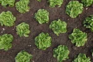 Plant lettuce early and you'll harvest more often.