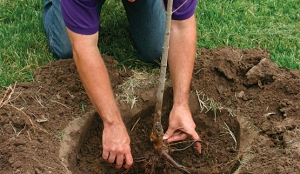 Plant Bare Root and Save!