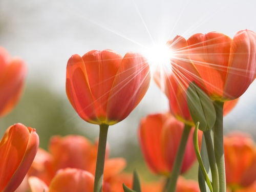 tulips and sun