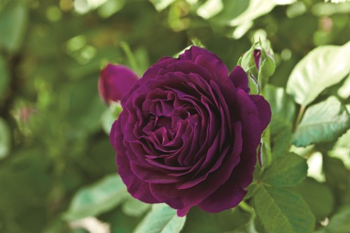 Add another dimension to your garden with the Twilight Zone rose, new this year and available now at The Plant Farm.
