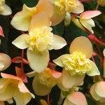 Begonia Bon Bon Sherbet