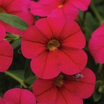 Calibrachoa Cabaret Cherry Rose