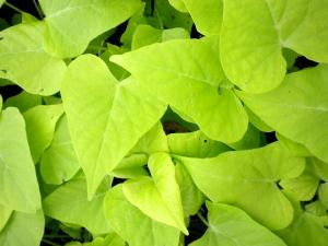 Green Ipomoea Marguerite