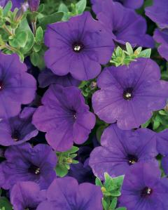 Petunia Supertunia Royal Velvet