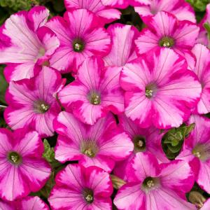 Petunia Supertunia Raspberry Blast