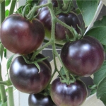'Indigo Apple' Tomato