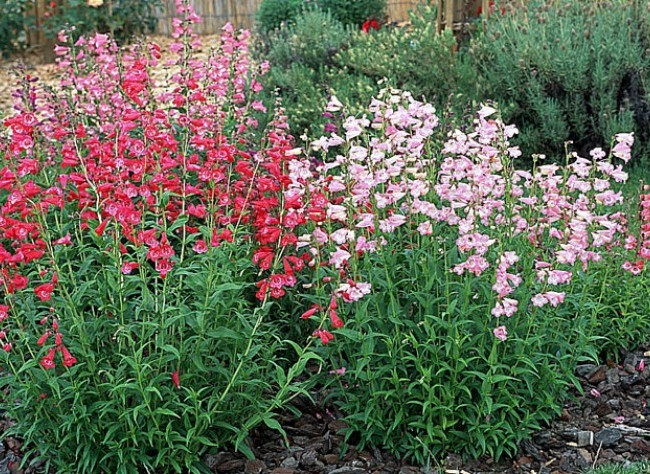 Penstemon The Plant Farm