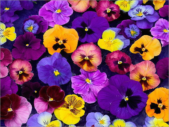 beneath the petals fun facts about pansies and violas  the plant, Natural flower