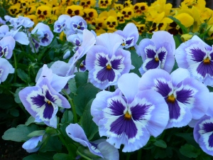 pansy-blue