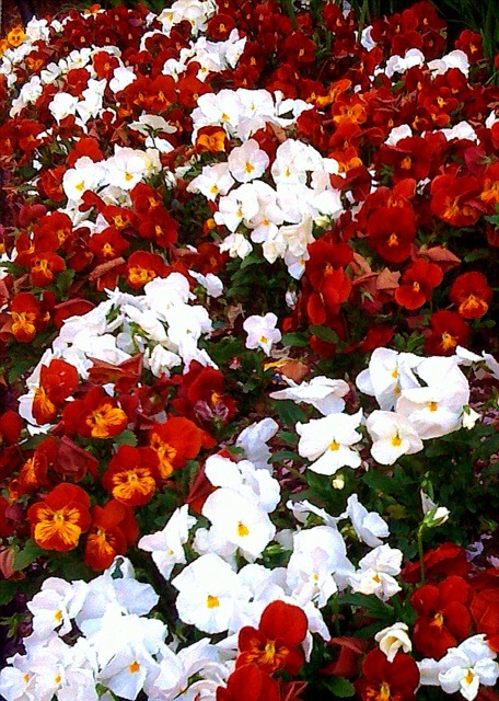beneath the petals fun facts about pansies and violas