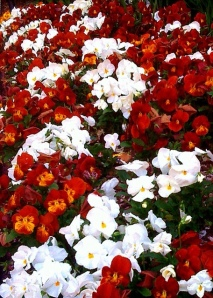 pansy-red-white