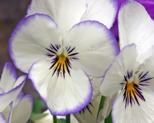 pansy-white