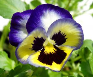 pansy-yellow-purple