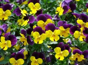 viola-yellow-sorbet